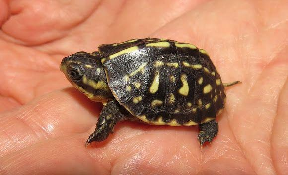 florida box turtle for sale