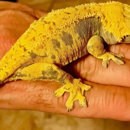 Yellow Harlequin Crested gecko for sale