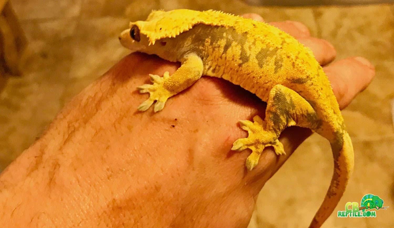 Buy Gecko Food Online