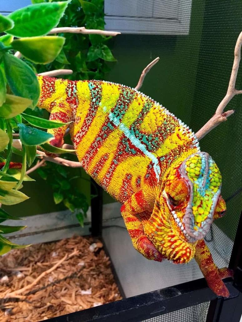 designer cross panther chameleon