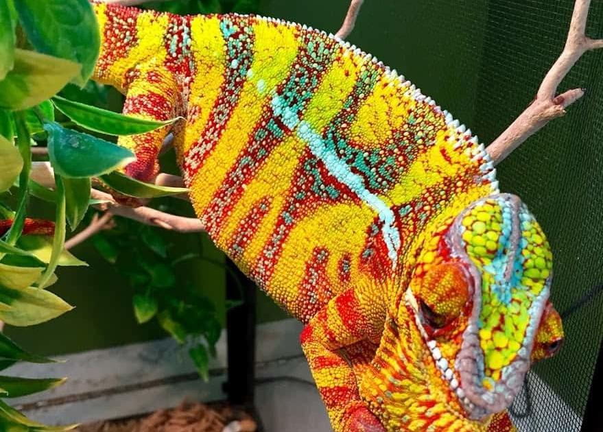 designer cross panther chameleon