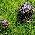 Indian star tortoises for sale