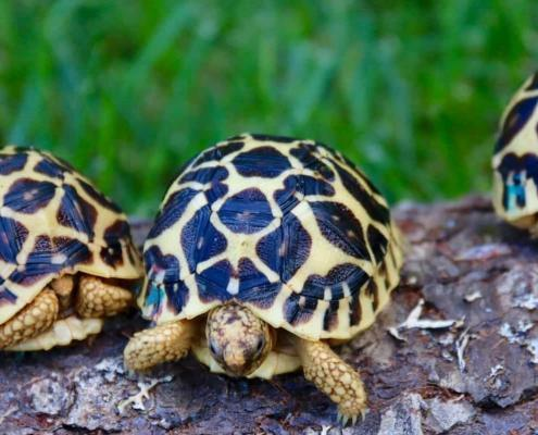 baby indian star tortoise for sale