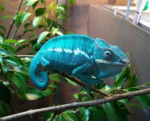 Nosy Be Panther Chameleons for sale