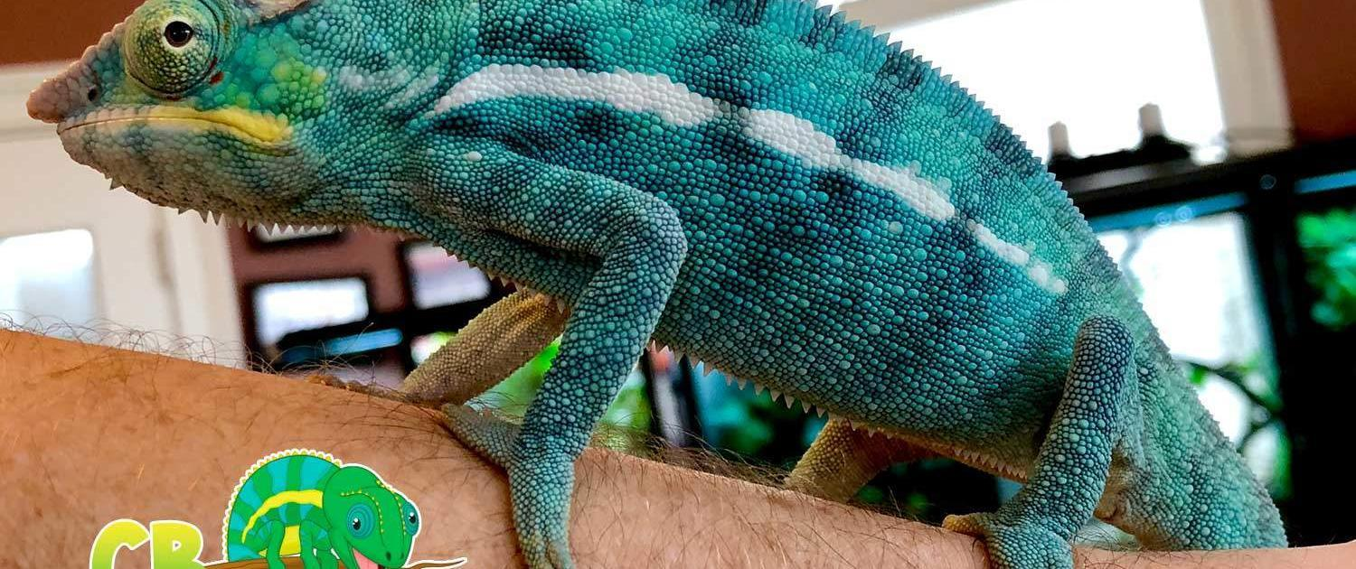 panther chameleon for sale online panther chameleon breeders