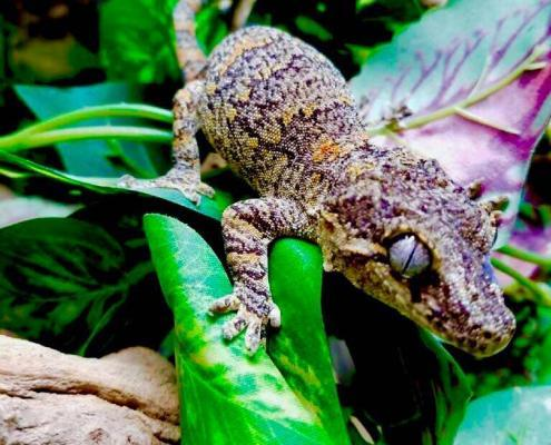 orange blotch gargoyle gecko