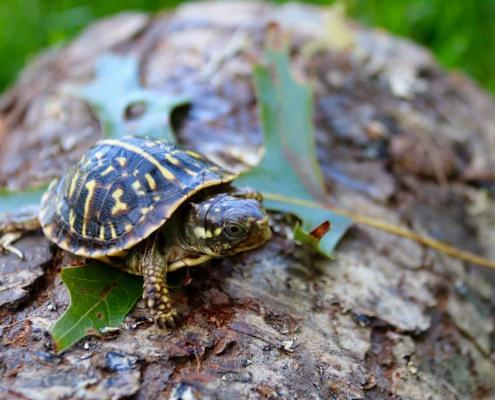 ornate box turtles