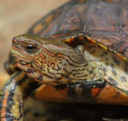 painted wood turtle for sale