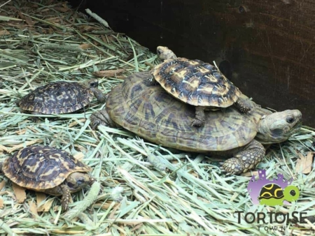 African Pancake Tortoise for sale