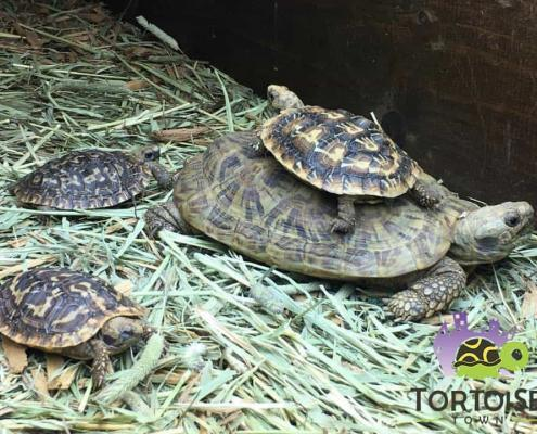 pancake tortoises for sale