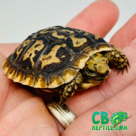 pancake tortoise for sale