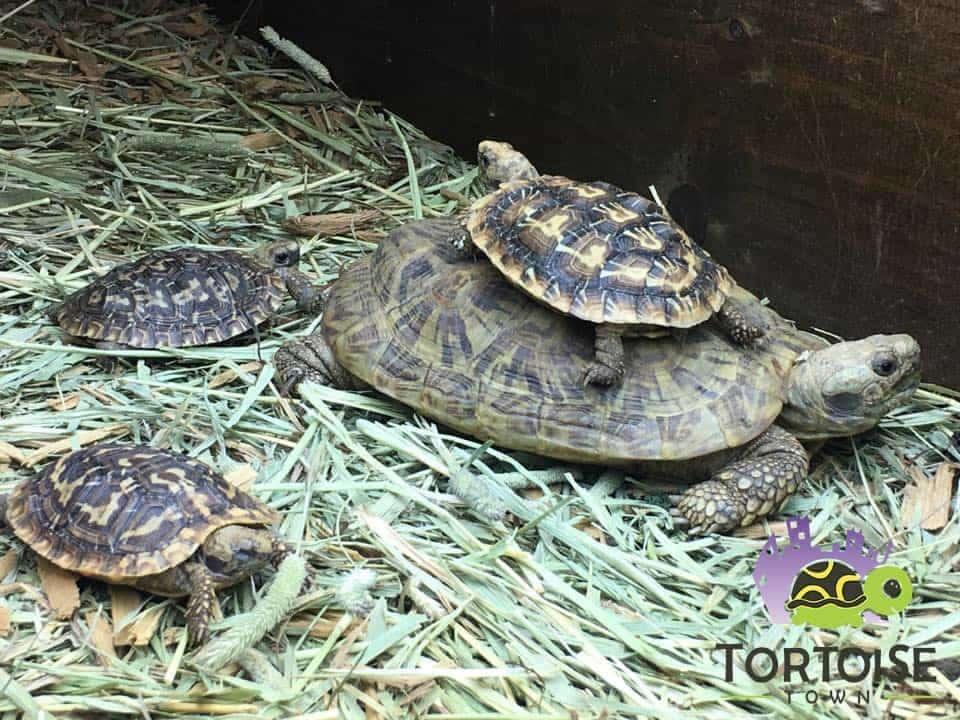 African Pancake Tortoise For Sale Baby Pancake Tortoise