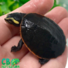 pink belly side necked turtle
