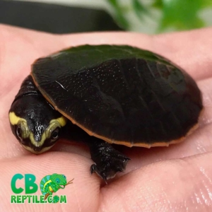 pink belly sidenecked turtle for sale
