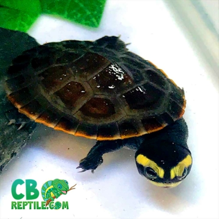pink belly turtle for sale
