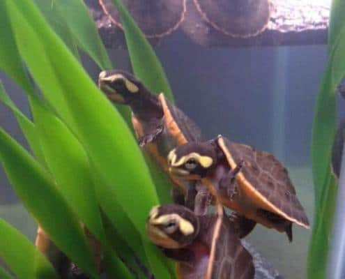 pink belly side-necked turtle for sale