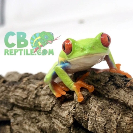 red eyed tree frog for sale
