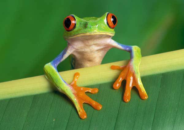 red eyed tree frog for sale online red eye tree frogs for sale where
