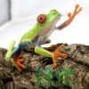 red eyed tree frogs for sale