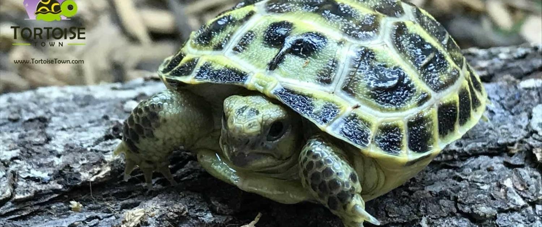 russian tortoise for sale