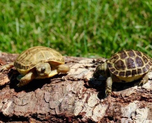 baby russian tortoise