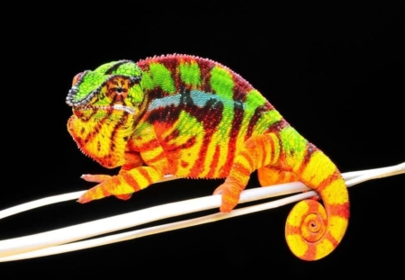 Sambava Panther Chameleon for sale