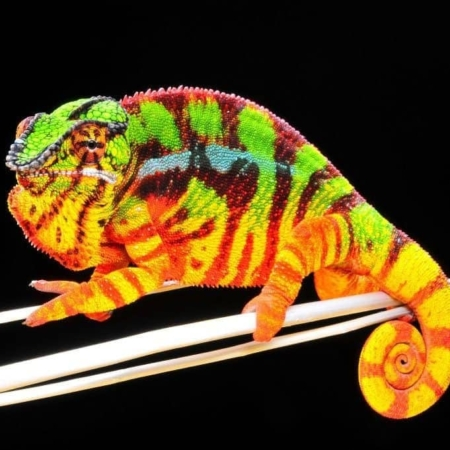 Sambava Panther Chameleon for sale