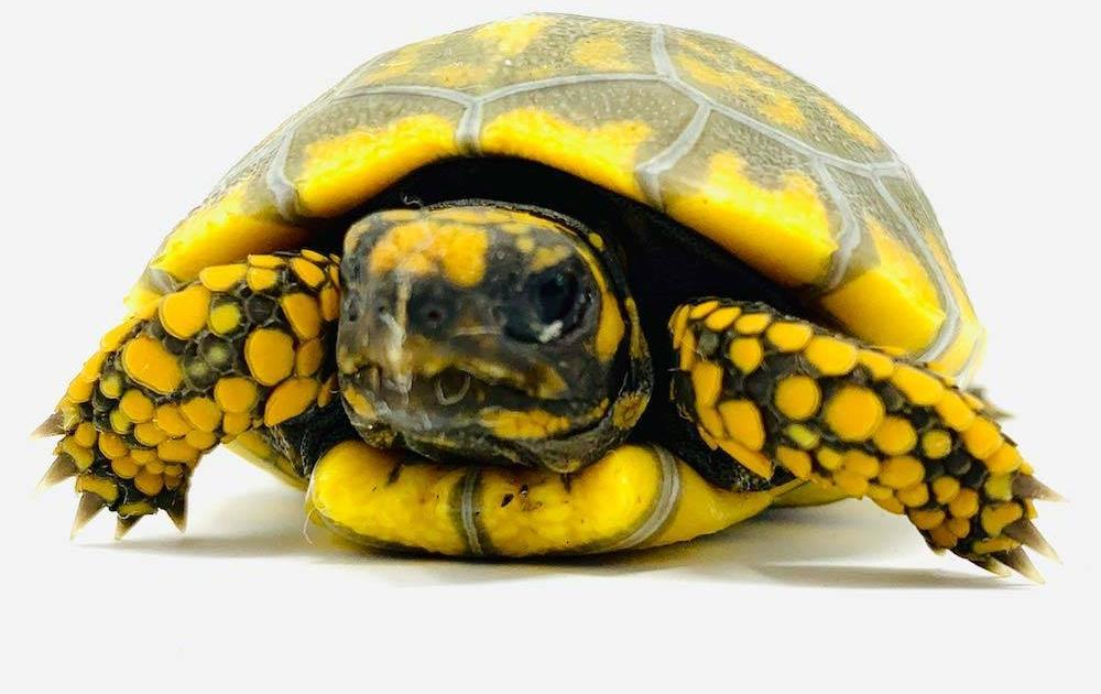 yellow footed tortoises for sale