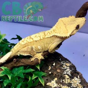 baby harlequin crested gecko