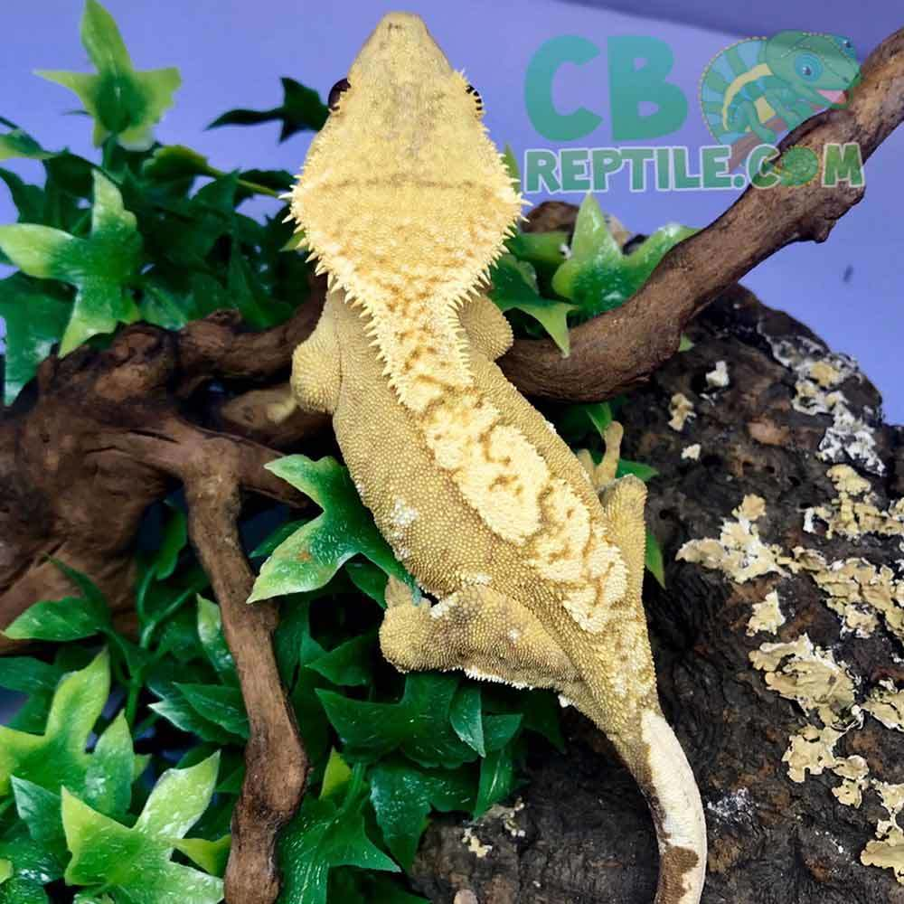Yellow Harlequin Crested Gecko For Sale Online Baby Yellow