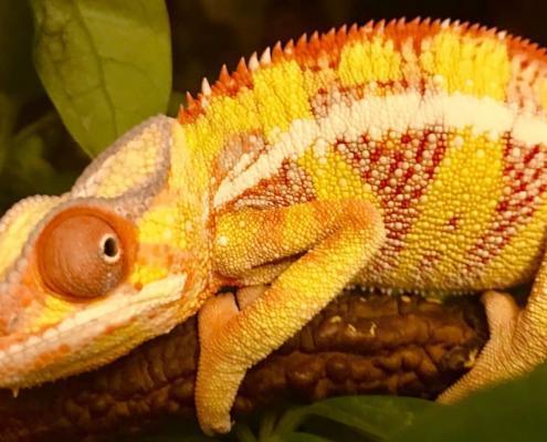 yellow body ambilobe panther chameleon
