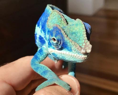 ambanja panther chameleon sale