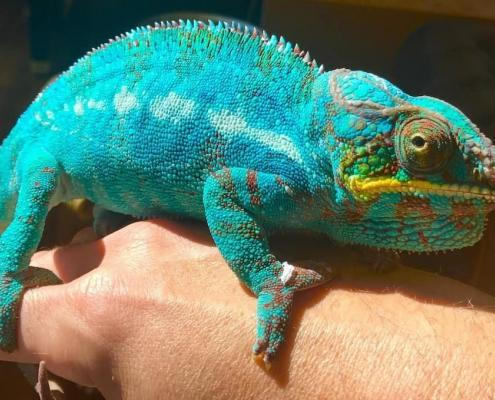 baby ambilobe panther chameleon for sale