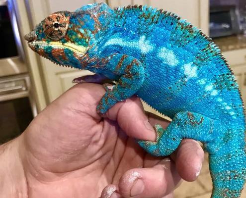 panther chameleon breeder
