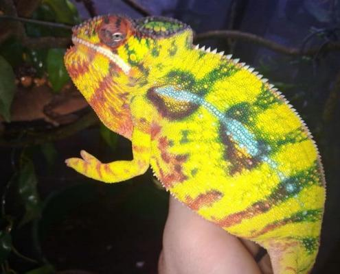 Nosy Mitsio Panther Chameleons for sale