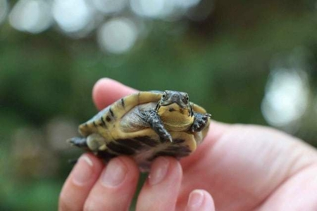 baby blanding's turtle for sale