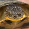 blanding's turtle breeder