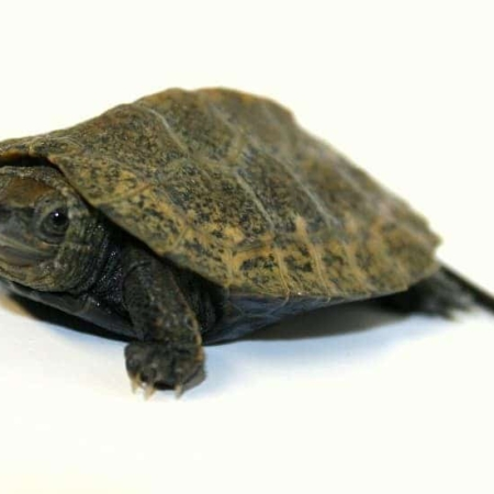 Japanese pond turtle for sale