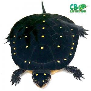 North American Spotted turtle