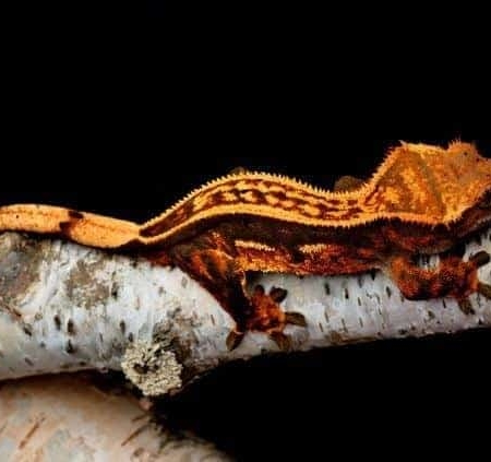 orange pinstripe crested gecko