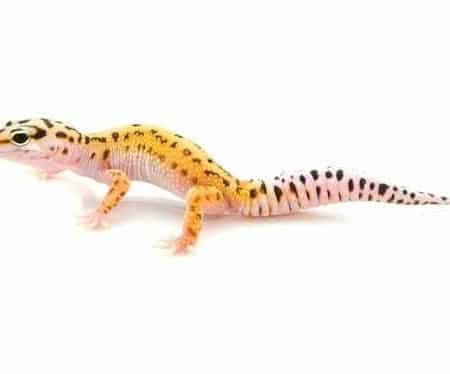 Pinstripe Leopard gecko for sale