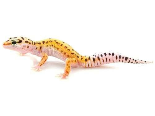 pinstripe leopard gecko for sale