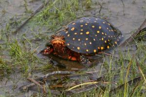 spotted turtle breeder