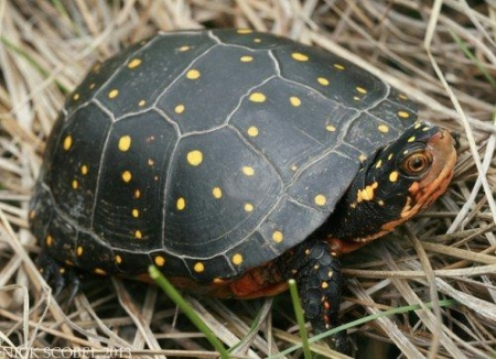 spotted turtle for sale