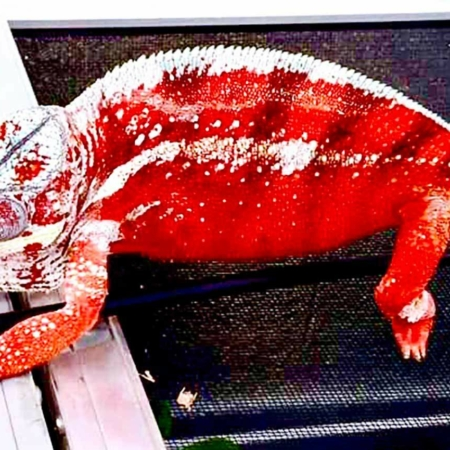 Tamatave Panther Chameleon for sale