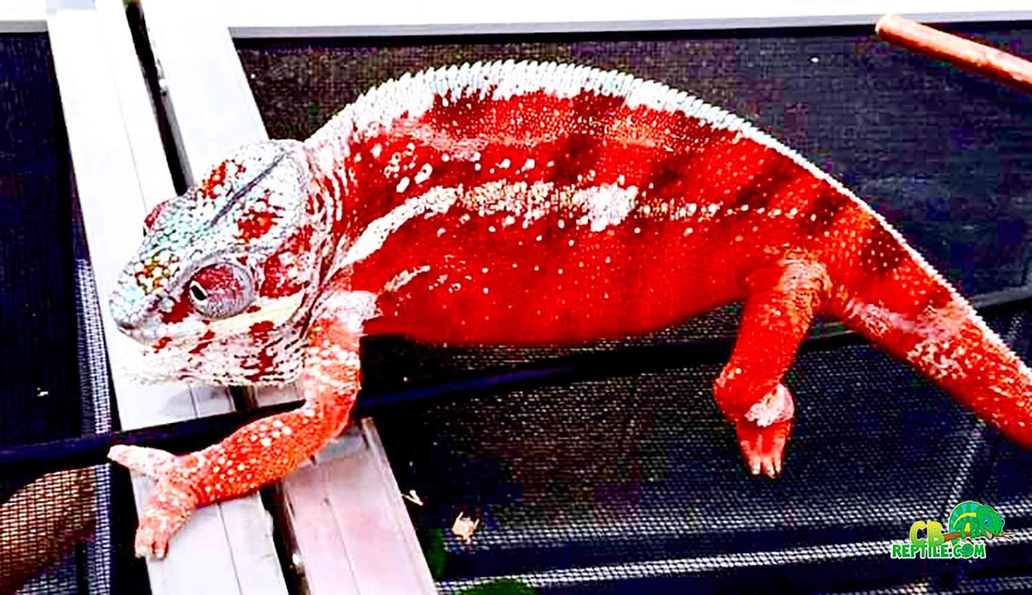 Tamatave Panther Chameleon For Sale Online Tamatave
