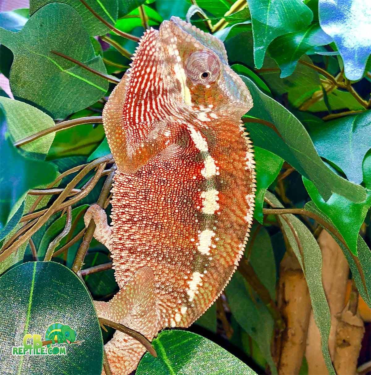 Can Carpet Chameleons Change Color