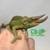 jackson's chameleons for sale