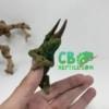 jackson's chameleon for sale