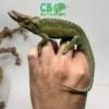 baby jackson's chameleons for sale